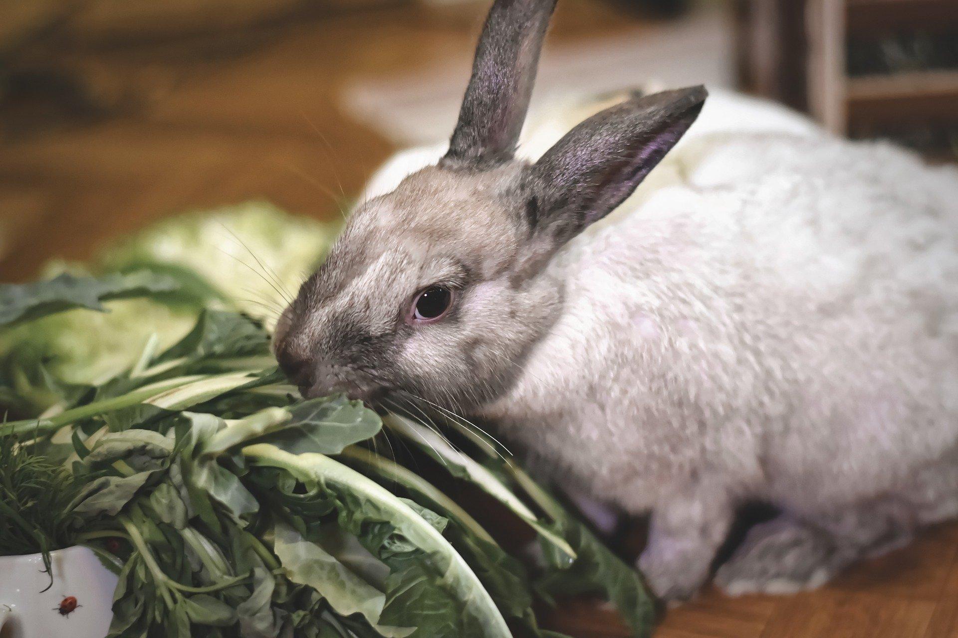 dwarf-rabbit-4925716_1920